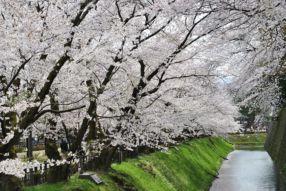 cherryblossoms