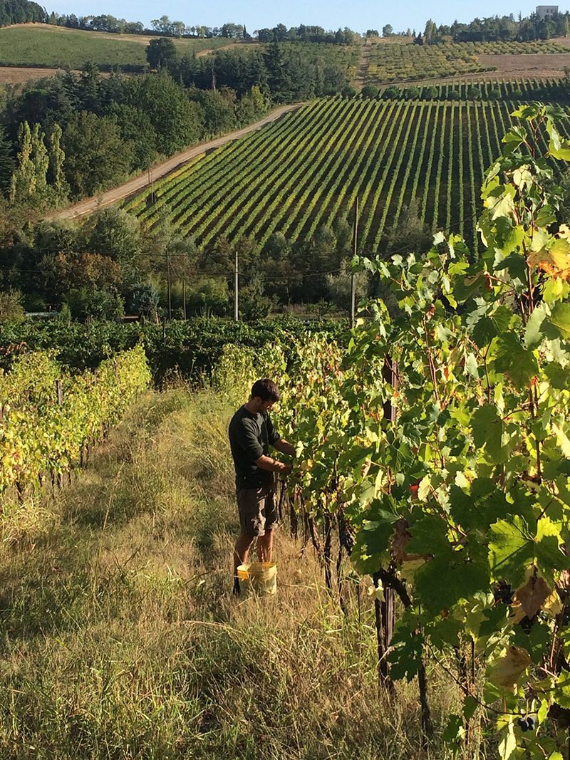 Harvesting Grapes in Italy (Need I Say More?): Our HelpX in Dozza